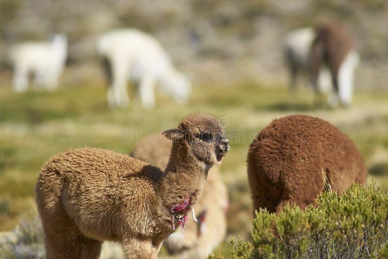 Alpaca in het Nationale Park van Lauca, Chili stock foto