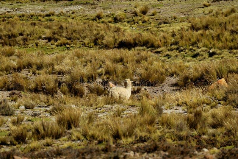 Alpaca het weiden op het gebied van Blanca van de Nationale Reservezoutmeren y Aguada van Reserva Nacional, Arequipa-gebied, Peru royalty-vrije stock foto's
