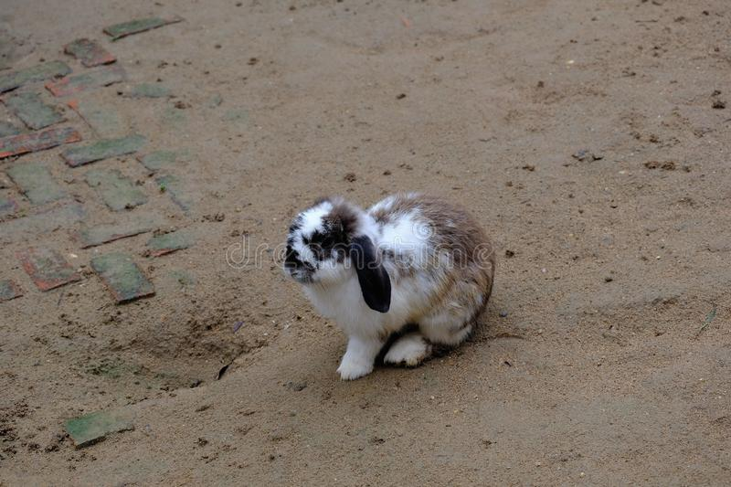 A little mixed color rabbit stands on ground royalty free stock image