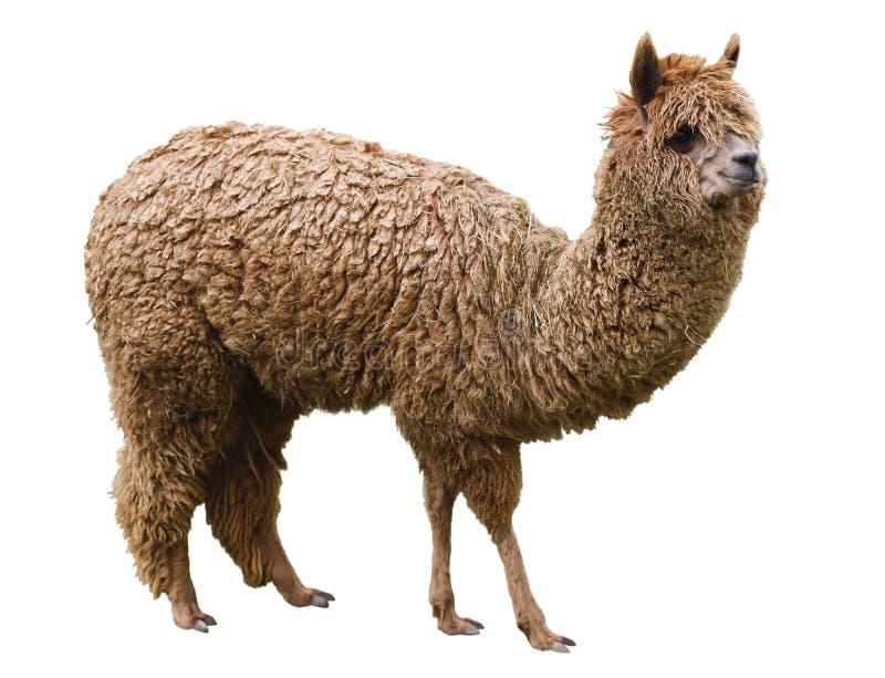 Alpaca, huisdier, op een witte achtergrond wordt geïsoleerd die royalty-vrije stock fotografie