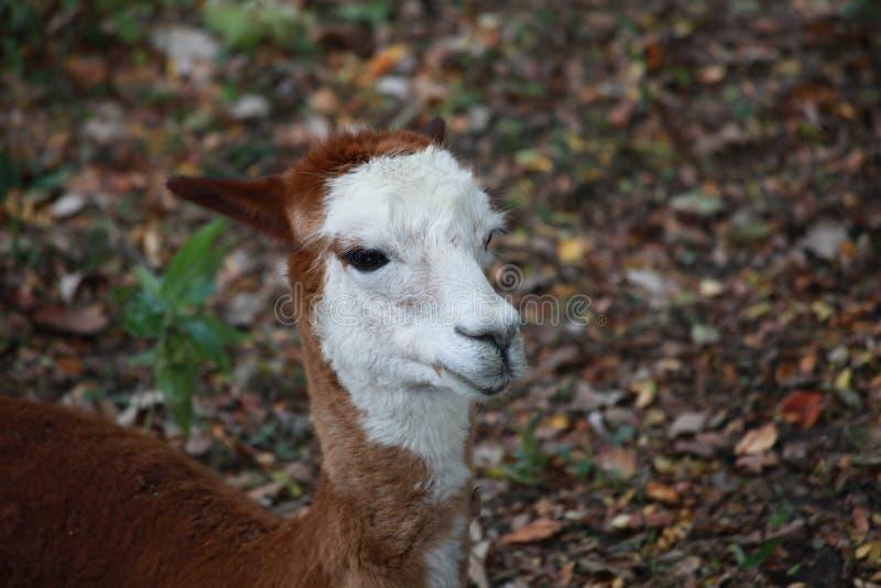 Alpaca i en zoo arkivfoto