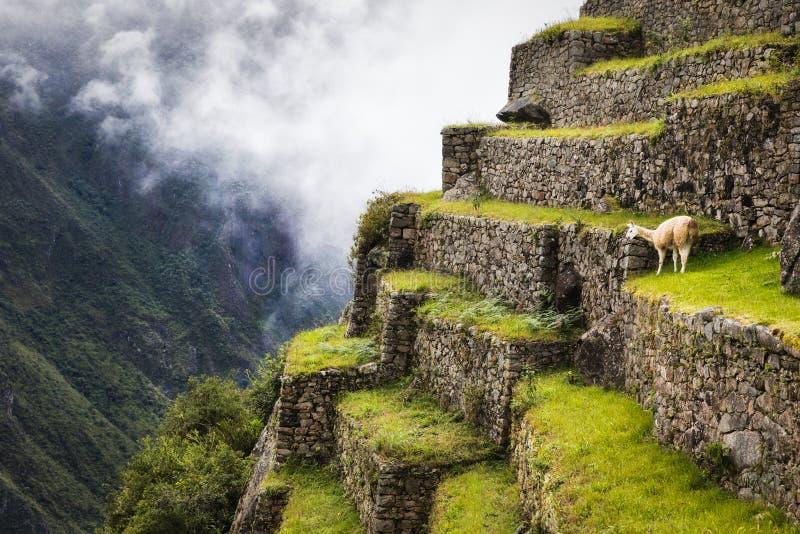 Alpaca i Machu Picchu arkivbilder