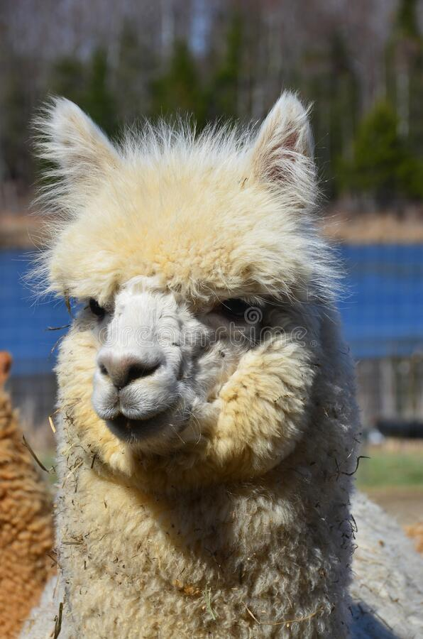 Free Alpaca Is A Domesticated Species Of South American Camelid. Royalty Free Stock Photos - 176310248