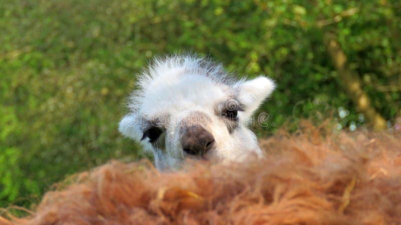Alpaca joven que mira sobre madres detrás fotografía de archivo