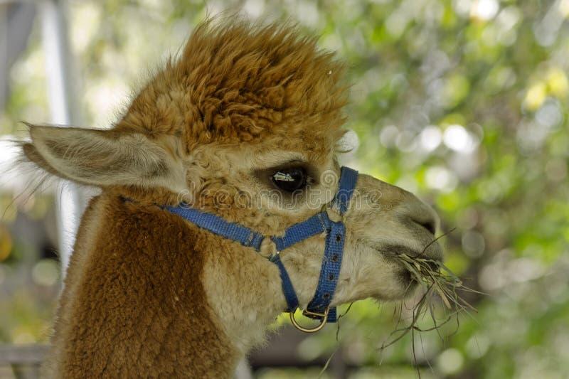 Alpaca, lamawol of huisdier royalty-vrije stock foto