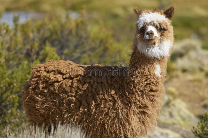 Alpaca in Lauca National Park, Chile royalty free stock photography