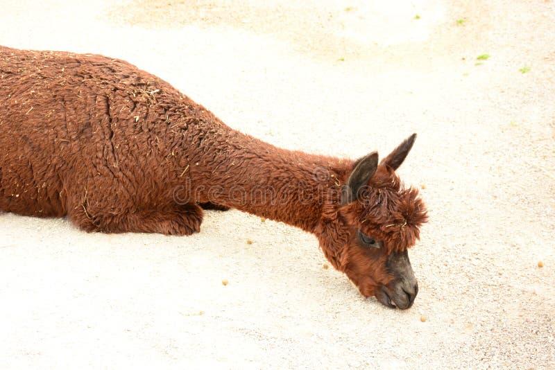 Alpaca linda, llama marr?n, mam?fero Alpaca en parque zool?gico foto de archivo libre de regalías