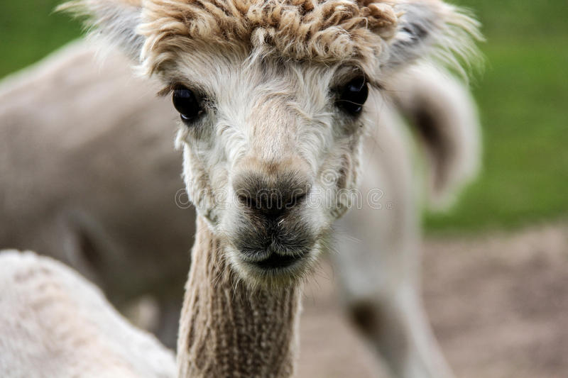 Alpaca and llama with funny hairstyle stock photography