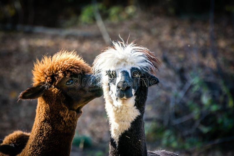 Alpaca llama. Two cute furry llamas are kissing. stock image