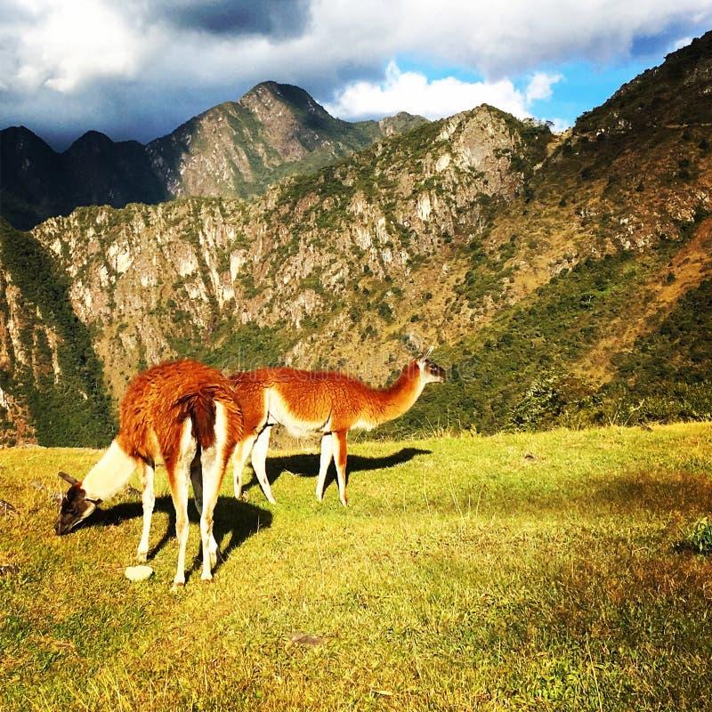 Alpaca in Machu Picchu royalty-vrije stock foto