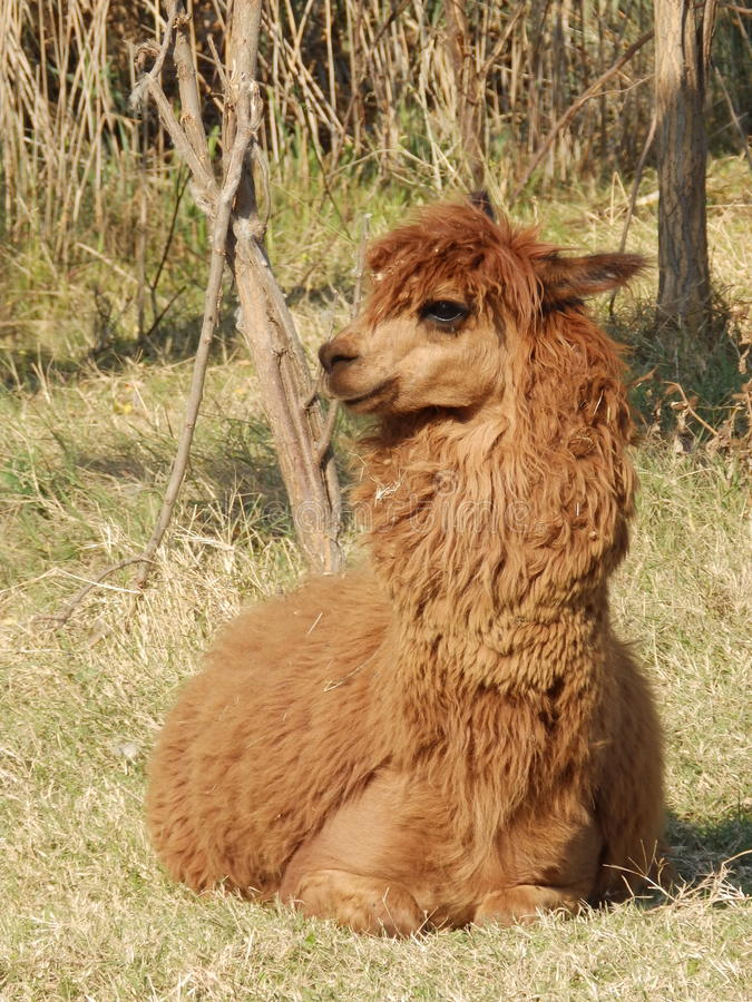 Alpaca male royalty free stock images