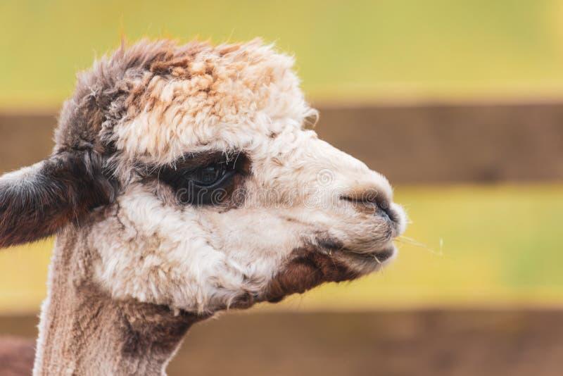 Alpaca med mörka ögon som ser till rätten royaltyfri foto