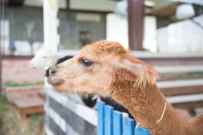 Alpaca (Modderpaard) royalty-vrije stock fotografie