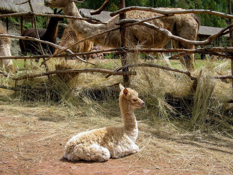 Alpaca och guanacos på lama brukar i Peru royaltyfri bild
