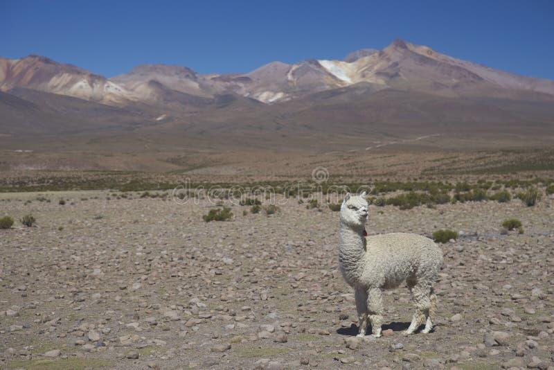 Alpaca op Altiplano van Noordelijk Chili stock foto's