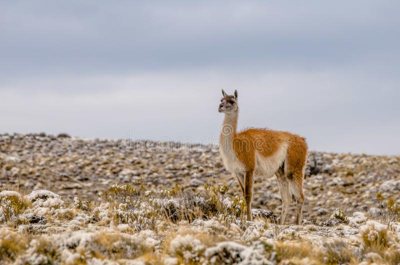 Alpaca op een gebied in sneeuw gedeeltelijk wordt behandeld die stock foto's
