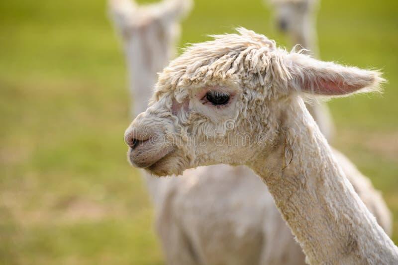 Alpaca op een gebied van het de lentelandbouwbedrijf royalty-vrije stock afbeeldingen