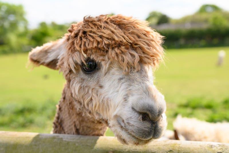 Alpaca op een gebied van het de lentelandbouwbedrijf stock afbeeldingen