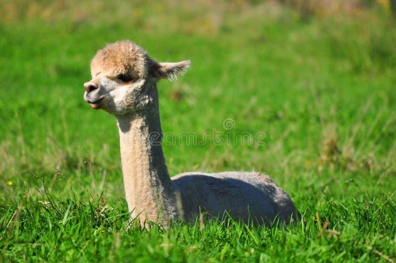 Alpaca op groen gras royalty-vrije stock foto's