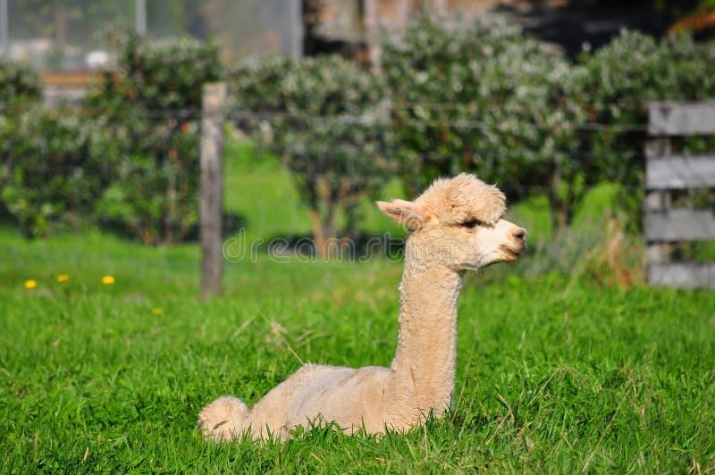 Alpaca op groen gras stock foto