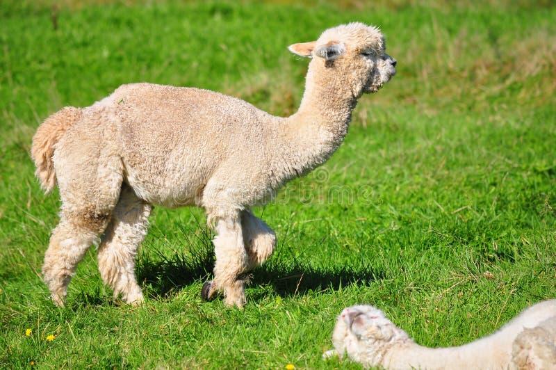 Alpaca op groen gras royalty-vrije stock afbeelding