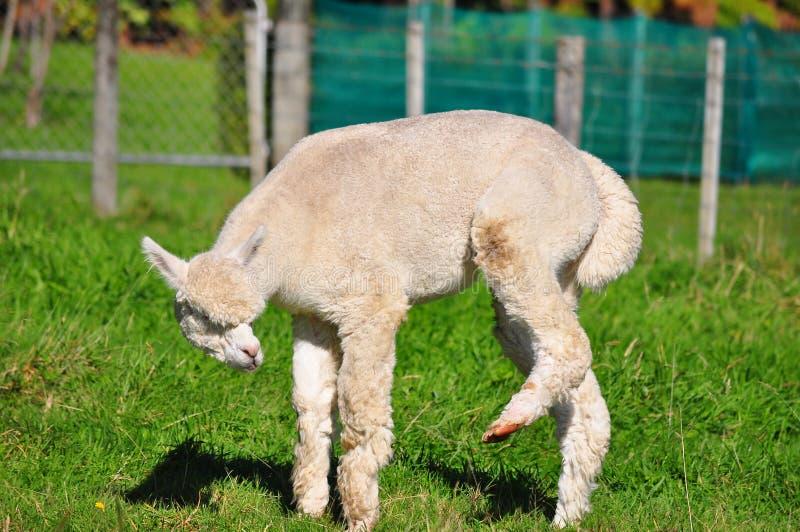 Alpaca op groen gras royalty-vrije stock foto