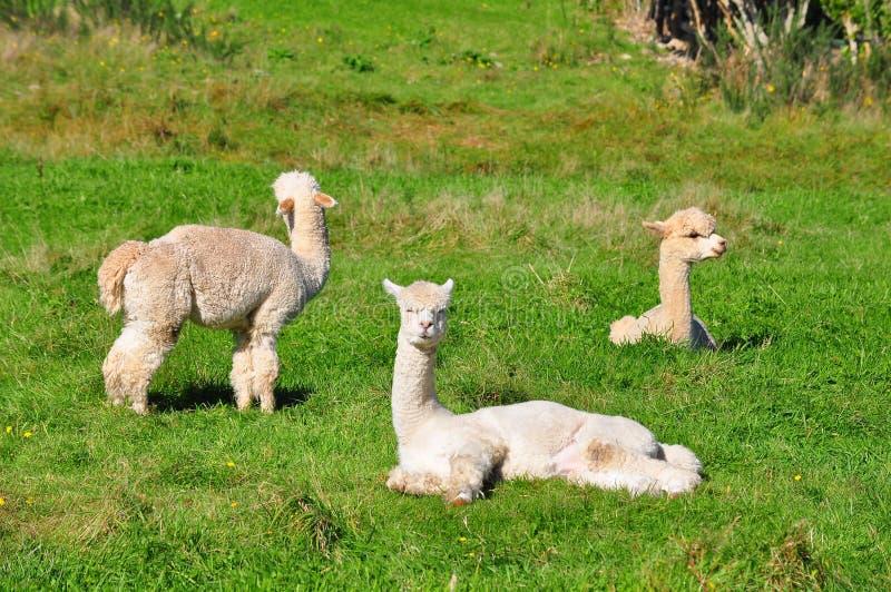 Alpaca op groen gras stock afbeeldingen