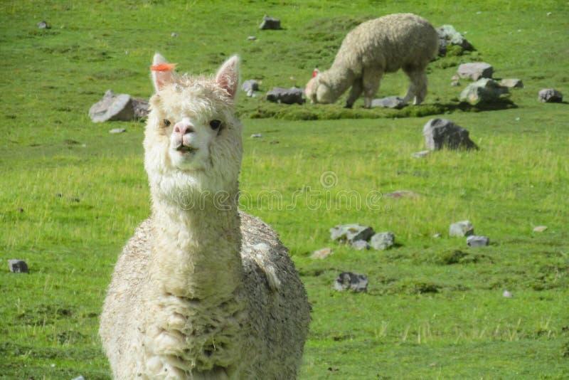 Alpaca op groene bergweide royalty-vrije stock fotografie