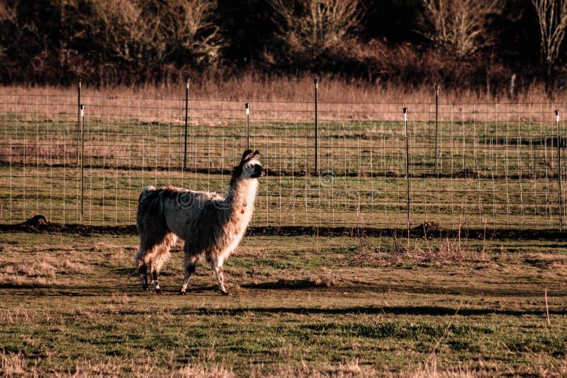 Alpaca op het Landbouwbedrijf bij Zonsondergang royalty-vrije stock afbeeldingen