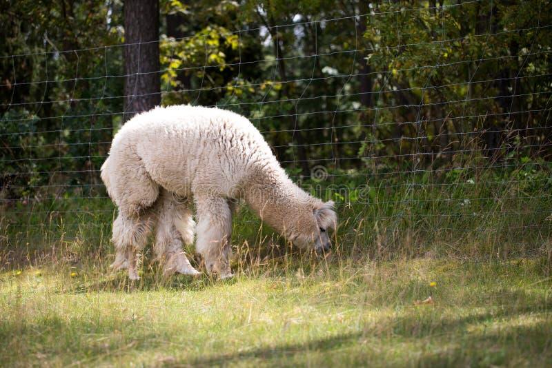 Alpaca op landbouwbedrijf royalty-vrije stock afbeelding
