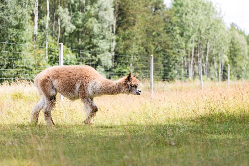 Alpaca op landbouwbedrijf royalty-vrije stock foto