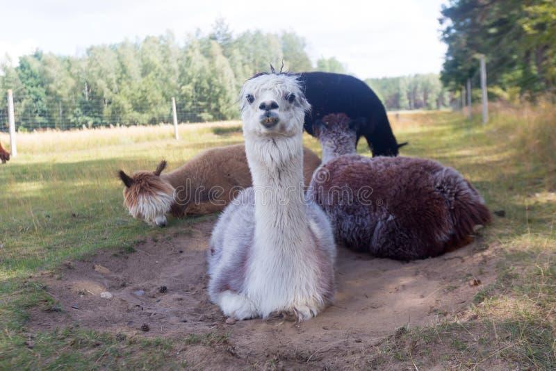 Alpaca op landbouwbedrijf stock fotografie
