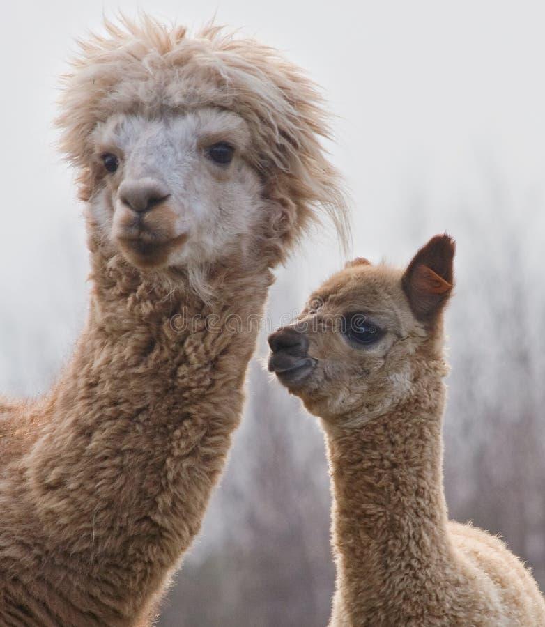 Alpaca op landbouwbedrijf royalty-vrije stock afbeeldingen