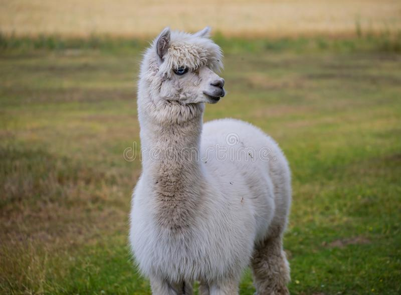 Alpaca op landbouwbedrijf stock afbeeldingen