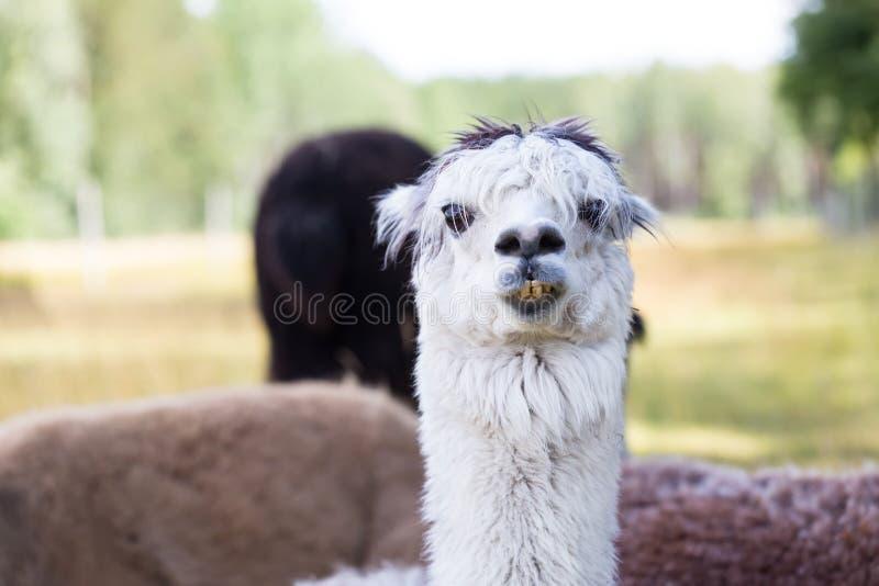 Alpaca op landbouwbedrijf royalty-vrije stock foto's