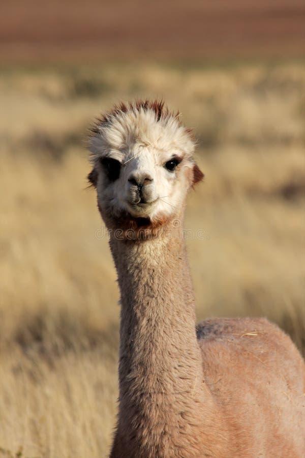 Alpaca (pacos do Vicugna) fotos de stock royalty free