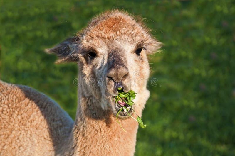 Alpaca, pacos Vicugna royalty-vrije stock foto's