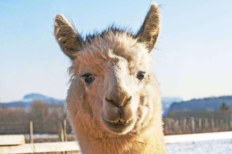 Alpaca, pacos Vicugna stock foto's