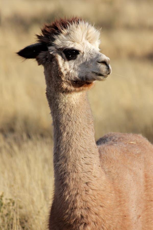Alpaca (pacos Vicugna) stock foto