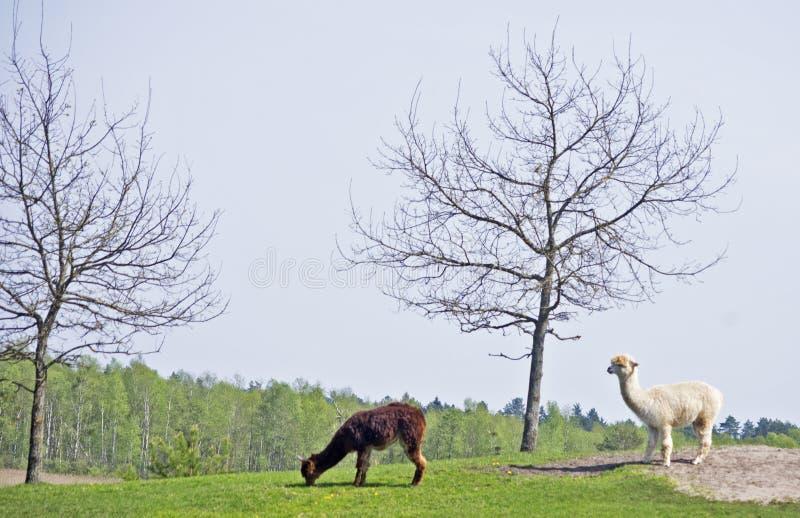Alpaca pela árvore foto de stock