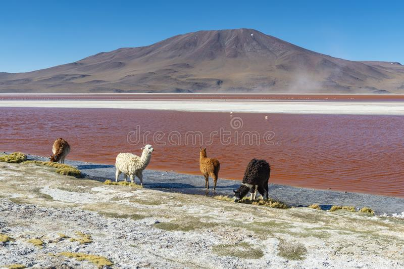 Alpaca pelo Laguna Colorada, Bolívia fotografia de stock royalty free
