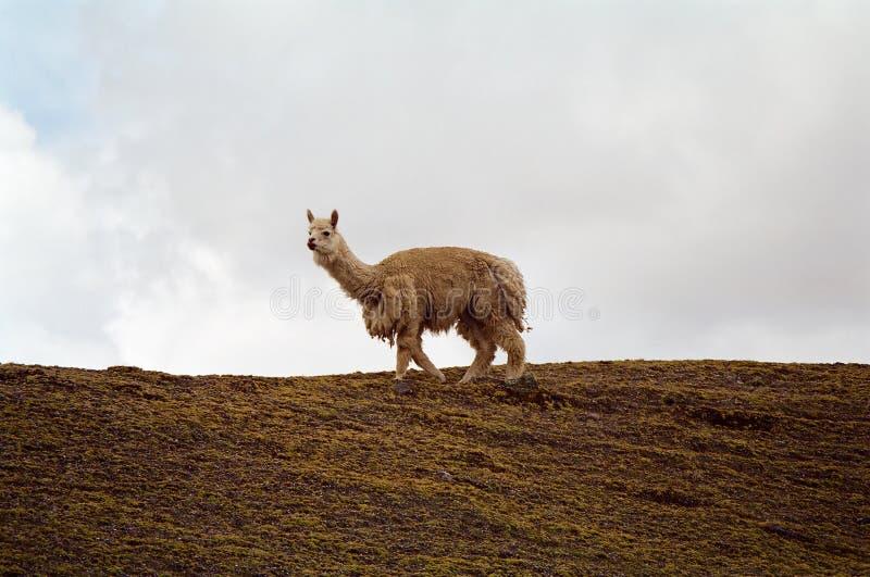 Alpaca, Peru stock images