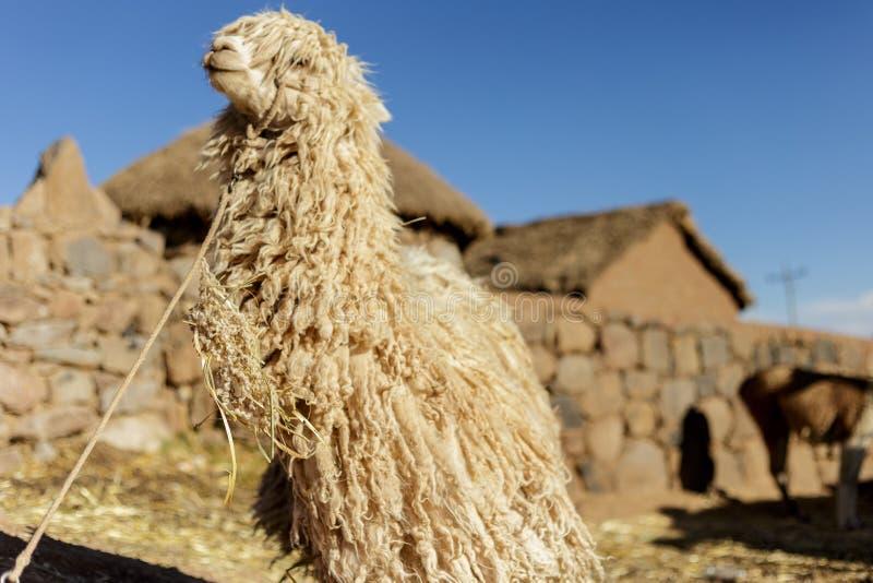 Alpaca peruansk ull, Peru royaltyfria bilder