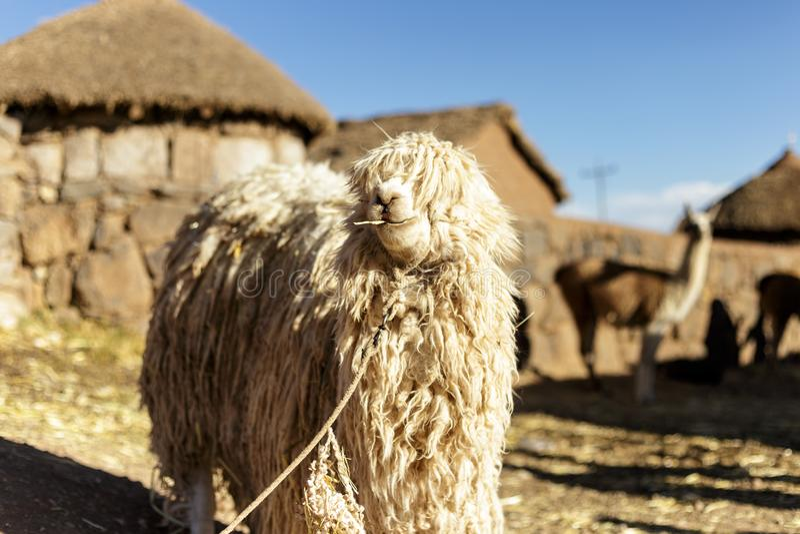 Alpaca, Peruvian Wool, Peru stock photography