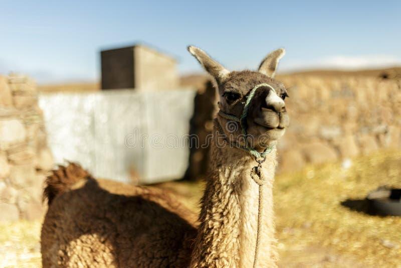 Alpaca, Peruvian Wool, Peru stock photo