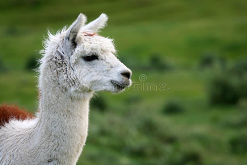 Download Alpaca Portrait Royalty Free Stock Photos - Image: 1482548