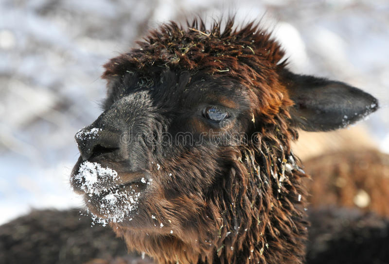 Download Alpaca Portrait Royalty Free Stock Photos - Image: 18698878