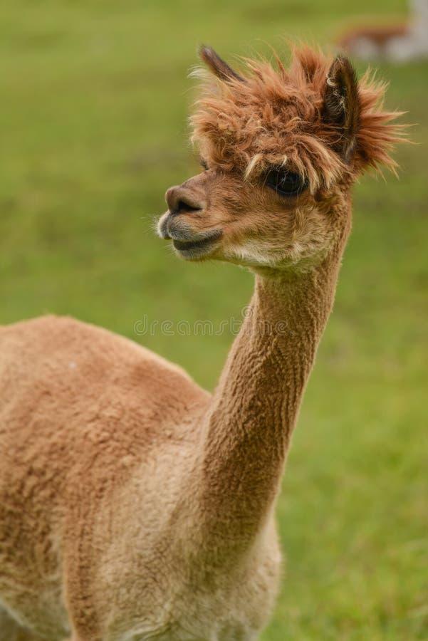 Alpaca portrait. Closeup portrait of a brown alpaca in pasture stock photos