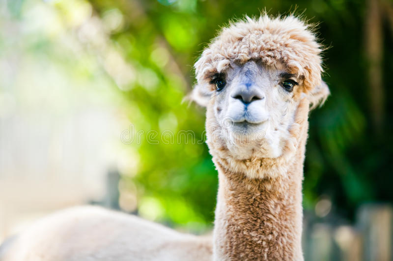 Alpaca Portrait On Green Natural Background Royalty Free Stock Images