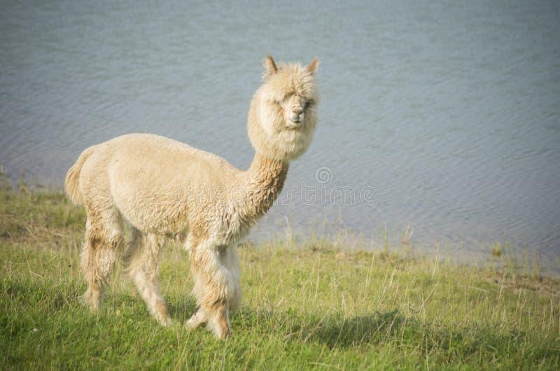 Alpaca que olha a câmera imagem de stock royalty free